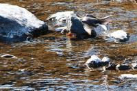 槻川に集う野鳥(2月17日) - 何でも写真館