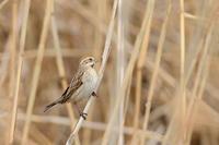 オオジュリン 02月18日 - 旧サンヨン(Nikon 300mm f/4D)野鳥撮影放浪記