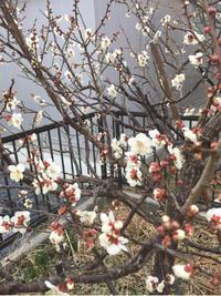 梅の花が咲いた♪&今週末はコストコへ。 - パルシステムのある生活♪