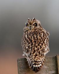コミミの迫力 - T/Hの野鳥写真-Ⅱ