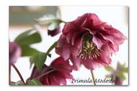 売店で目が合っちゃった - 雪割草 - Primula modesta -