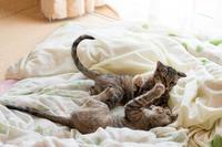 お布団で大暴れ - 猫と夕焼け