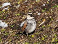 土手のツグミ - コーヒー党の野鳥と自然 パート2