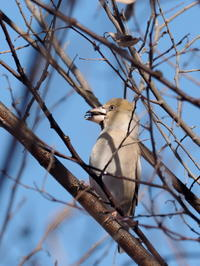枝先のシメ - コーヒー党の野鳥と自然 パート2