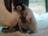 エンペラーペンギンの赤ちゃん - aws0607の写真コーナー