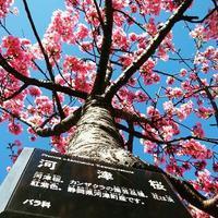 河津桜 - NATURALLY