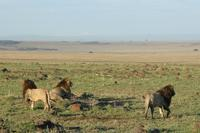 幸運はそう何日も続かなかった。そして可愛そうなライオン(旅記録その10、2月18日のサファリ) - 旅プラスの日記