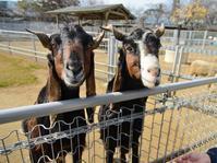 ミミナガヤギのメイとミユキ、メイの誕生日 - bonsoir