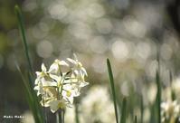 四国村のスイセン。 - Season of petal