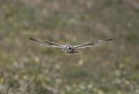 コミミズク その18(飛翔) - 私の鳥撮り散歩