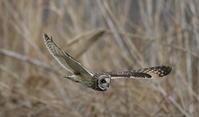 コミミズク その19(飛翔) - 私の鳥撮り散歩