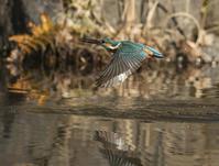 2月最初のカワセミくん - 鳥撮りに行こう!(ついでにあれもこれも)