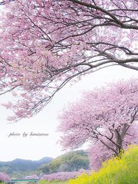 みなみの桜と菜の花まつり 〜静岡県賀茂郡南伊豆町〜 - Photographie de la couleur