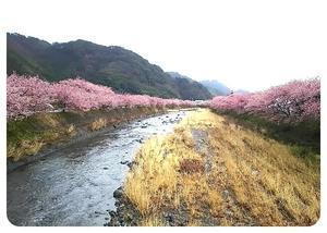 河津桜 - *す*的な日々