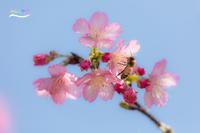 Cherry blossoms - 続 いまともフォト通信