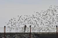 ハマシギの飛翔 - Taro's Photo