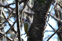 アオゲラ 02月19日 - 旧サンヨン(Nikon 300mm f/4D)野鳥撮影放浪記