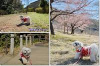 車で河津桜見物 - ポロと歩く