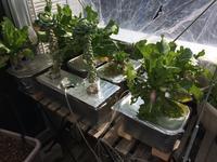 久々の全貌、芽キャベツの状況、ルッコラ播種 - 3F garden(屋根付屋外水耕)