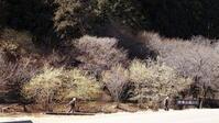 セツブン草(1) - 自然の中でⅡ