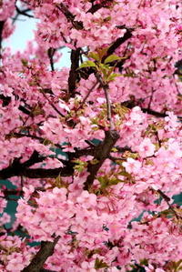 河津桜 - KuriSalo 天然酵母ちいさなパン教室と日々の暮らしの事