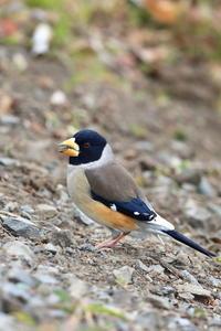 コイカル再び - 野鳥公園