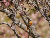 坂田ヶ池の小鳥たち カワセミ、セグロセキレイ、ジョウビタキ、ハシビロガモ - 花と葉っぱ
