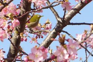 春を告げる前松堂の河津桜 - 藍。の着物であるこう