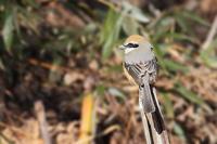 当地ではモズは留鳥 - 上州自然散策2