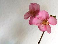 庭の河津桜もちらほらーALWAYS LOVED A FILM_ UNDERWORLD - そろそろ笑顔かな