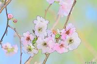 春の花遊び - 旅のかほり