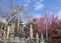 山里の寺 梅の花 - 雲間に覗く青