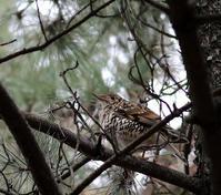 松林の中でトラツグミを・・・ - 一期一会の野鳥たち