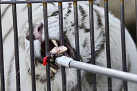 2017.2.19 宇都宮動物園☆ホワイトタイガーのアース王子【White tiger】 - 青空に浮かぶ月を眺めながら