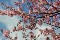 河津の桜① - at-blog*