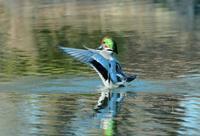 ヨシガモの羽ばたきを見れました - ひげ親爺の探鳥日記