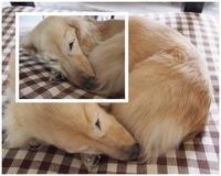 17年2月20日 雨でまったりんこ♪ - 旅行犬 さくら 桃子 あんず 日記
