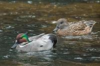 興味を持つキッカケとなった水鳥 - 趣味の野鳥撮影