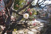梅の花が開花 - 「今日の一枚」