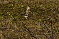 コミミズク 02月04日-5 - 旧サンヨン(Nikon 300mm f/4D)野鳥撮影放浪記