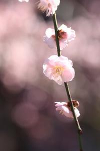 枝垂れ梅~マクロ~@相良梅園♪ - happy-cafe*vol.2