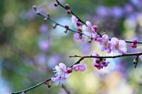 サクラ色した梅の花と・・・@相良梅園♪ - happy-cafe*vol.2
