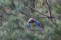 カケスも活動的 - 野鳥写真日記 自分用アーカイブズ