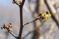 ■ いろいろのマンサクが満開   17.2.20 - 舞岡公園の自然2
