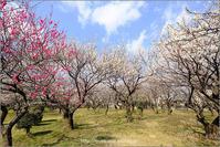 In the plum garden - りゅう太のあしあと