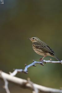 枝止まりのビンズイ - 野鳥公園