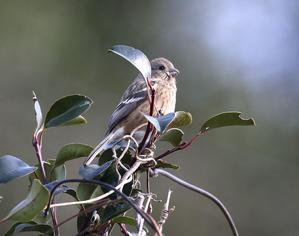 ベニマシコ♀ - 花と虫と茸と鳥と