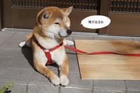 実家暮らし~玄関より縁側編~ - 柴犬のぼく小麦
