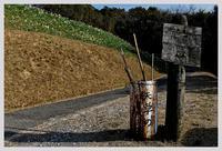 熊本・遠見山公園のスイセン - ■MAGの写真創庫■