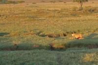 7匹の赤ちゃんライオン(旅記録その12、2月20日はサファリ最終日) - 旅プラスの日記